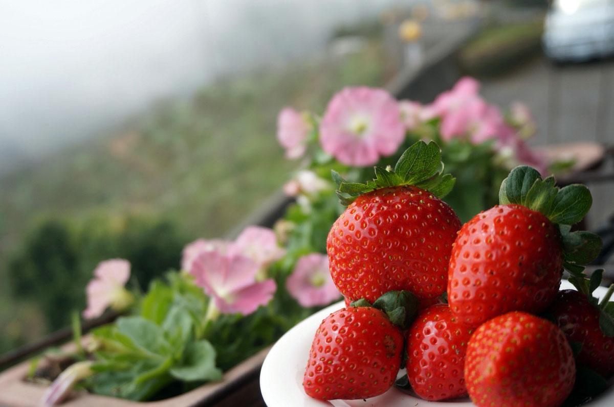 02.2017年冬季草莓出爐,開放採果。