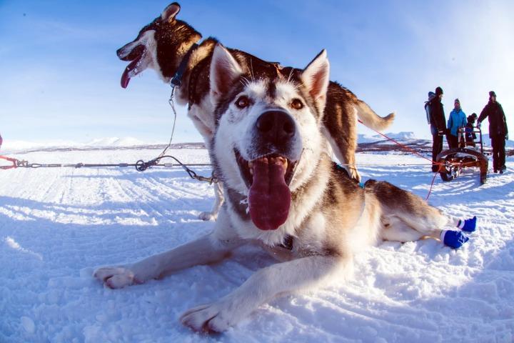 07.哈士奇跑完了全身發熱,正坐在冰雪中,伸著舌頭哈氣。